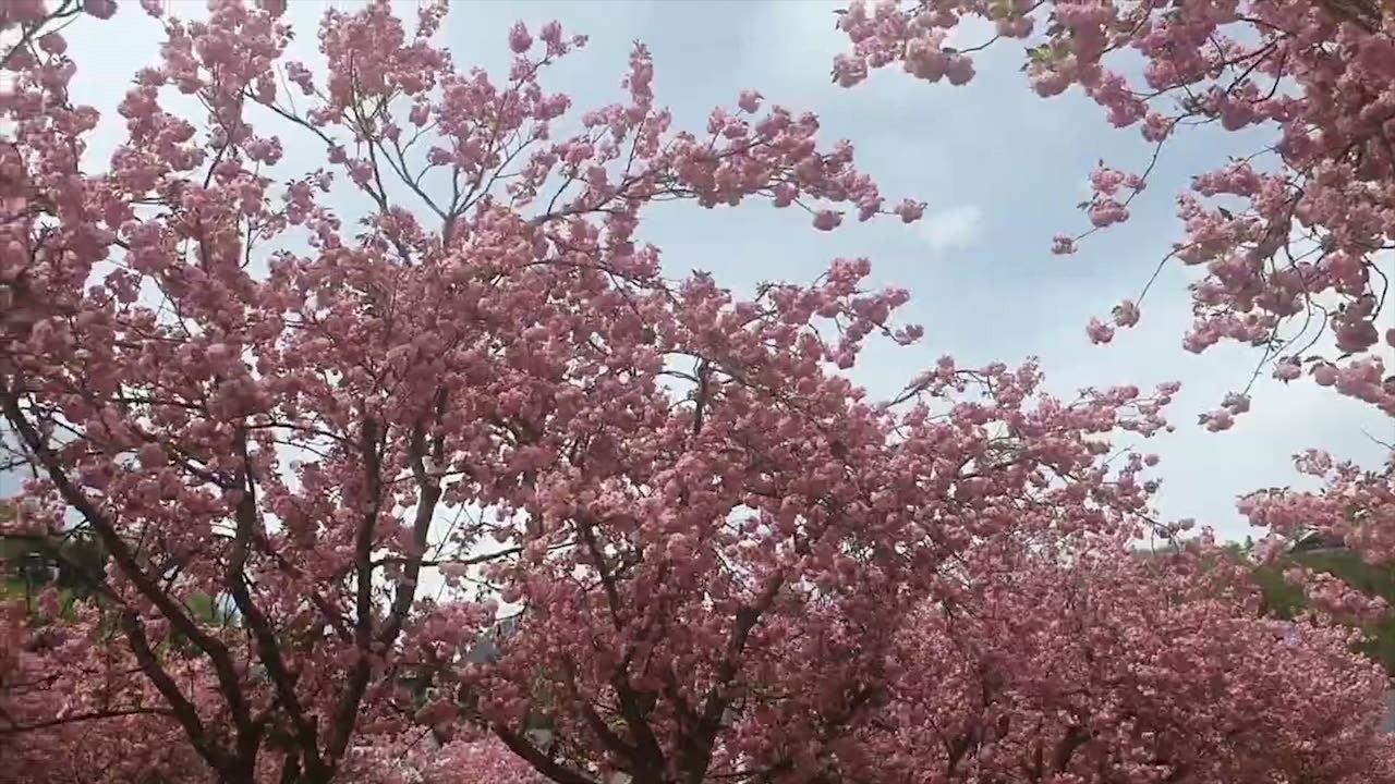 Kaleidoslop Sakura In Bavaria